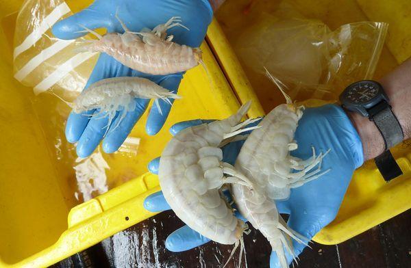 Giant shrimp.