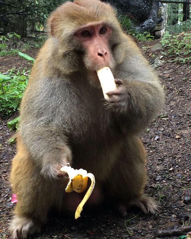 Бродячие обезьяны вырывают бананы из рук. Вы рискуете быть поцарапаны или укушены :). #monkey #banane #animal #wildlife #eat #lunch #linchtime #nature #creativephototeam