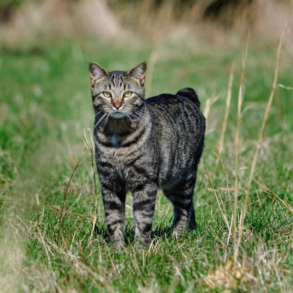 Adorable gato manx... <3 #manx #gatos #gatosbonitos