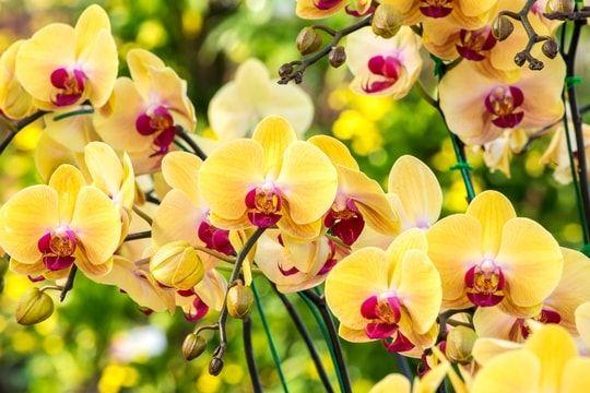 Orchidée : comment s'en occuper ?