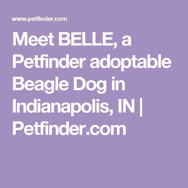 Meet BELLE, a Petfinder adoptable Beagle Dog in Indianapolis, IN | Petfinder.com
