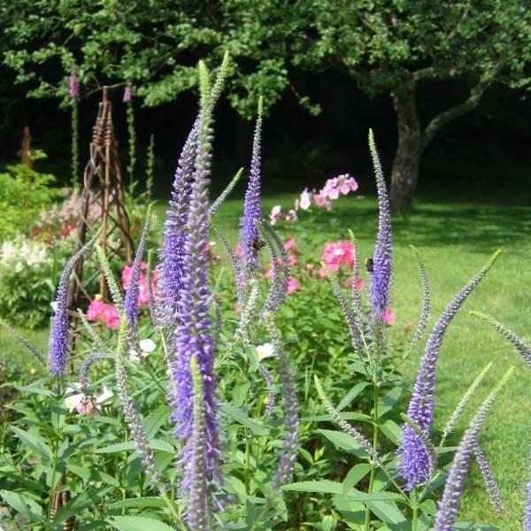 Ærenpris, Stor Veronica Grandis. 60-90 cm høj, behøver ingen opbindning. Det er en robust plante, der breder sig ved sideskud og med tiden danner blokke af dejlige lavendelblå aks. Ukrudt har ikke mange chancer her.  En lang samlet blomstring fra juni til august.  Stor ærenpris trives bedst i en let fugtig, veldrænet og næringsrig jord og i sol til halvskygge.   Stor ærenpris kan sås hele året - også i den kolde periode, så vil de spire det efterfølgende forår.