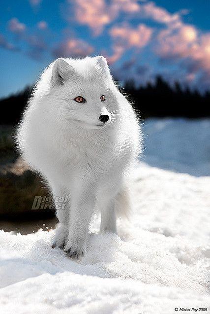 arctic fox....looks like my dog.