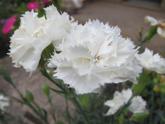 100pcs White Carnation Flower Seeds White Flower Flower Seeds White Carnation Carnations