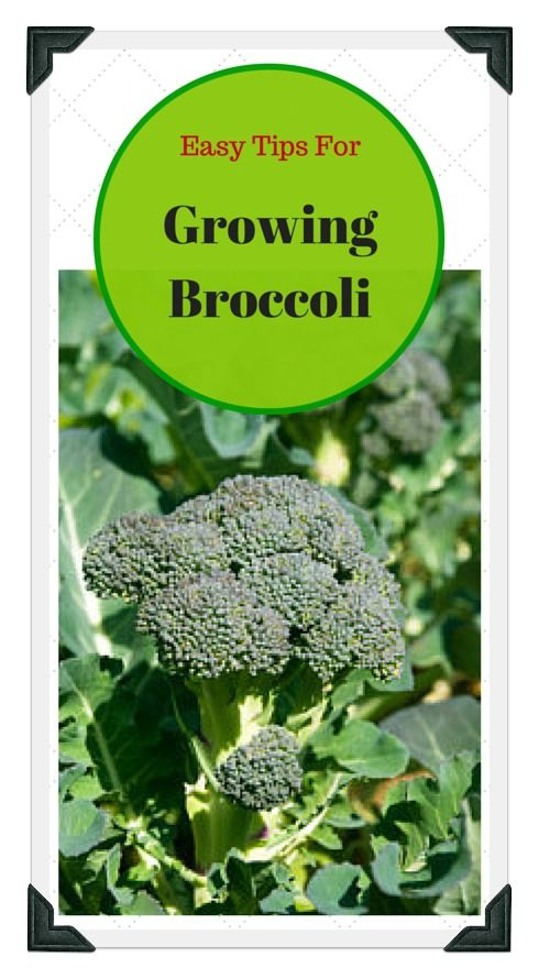 Learn all about growing broccoli at home; from choosing the best seeds, preparing the soil, to thinning and proper spacing! Use our free online Vegetable Garden Planner, zone chart, planting guide, and worksheets to plan a garden that works for you!