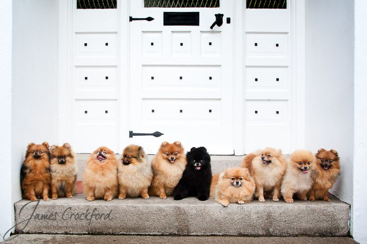 Pomeranians. My life someday <3                              …