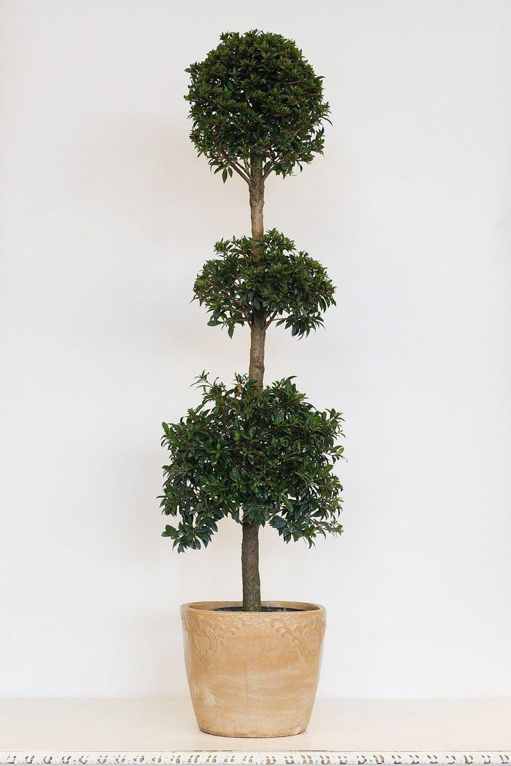 Eugenia Topiary Tree (3-ball) - 10 inch pot / 3-ball tree - 10 inch pot / 3-ball tree - 10 inch pot / 3-ball tree