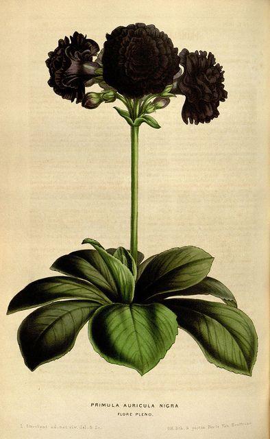 Flore des serres et des jardins de l'Europe. A Gand :chez Louis van Houtte, eÌditeur,1845-1880.. biodiversitylibrary.org/page/15956165