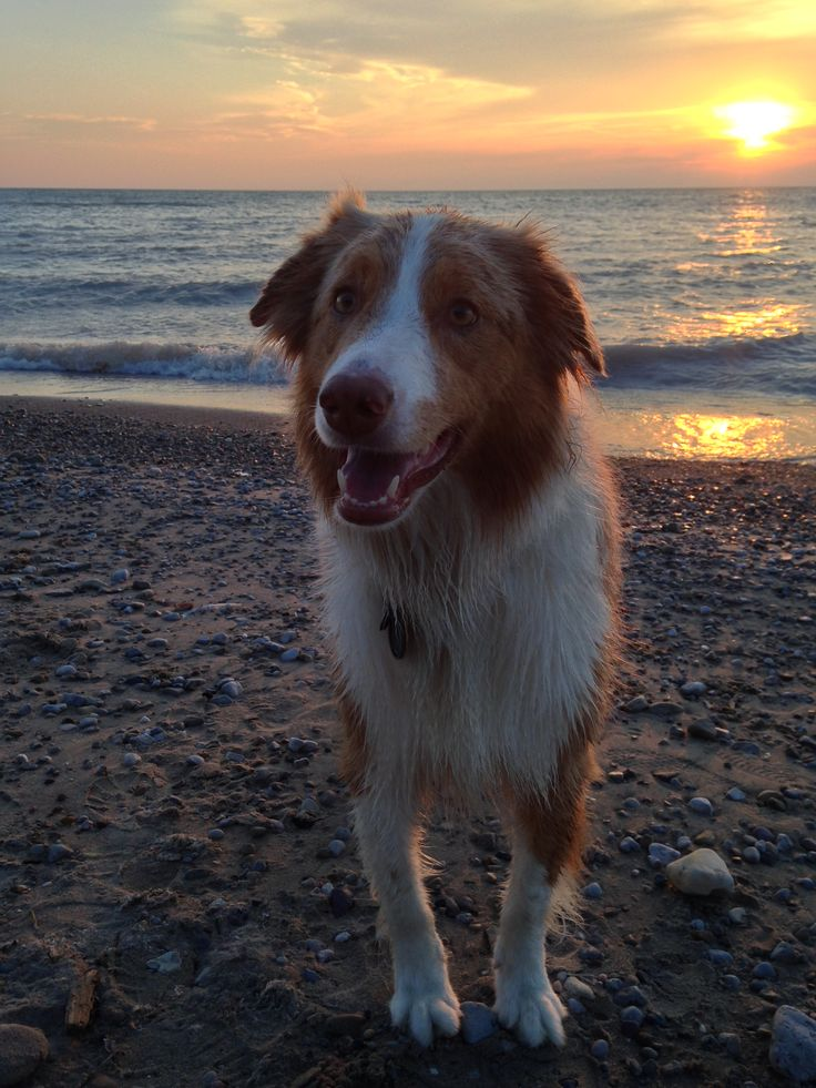 Wet dog, happy at the beach.