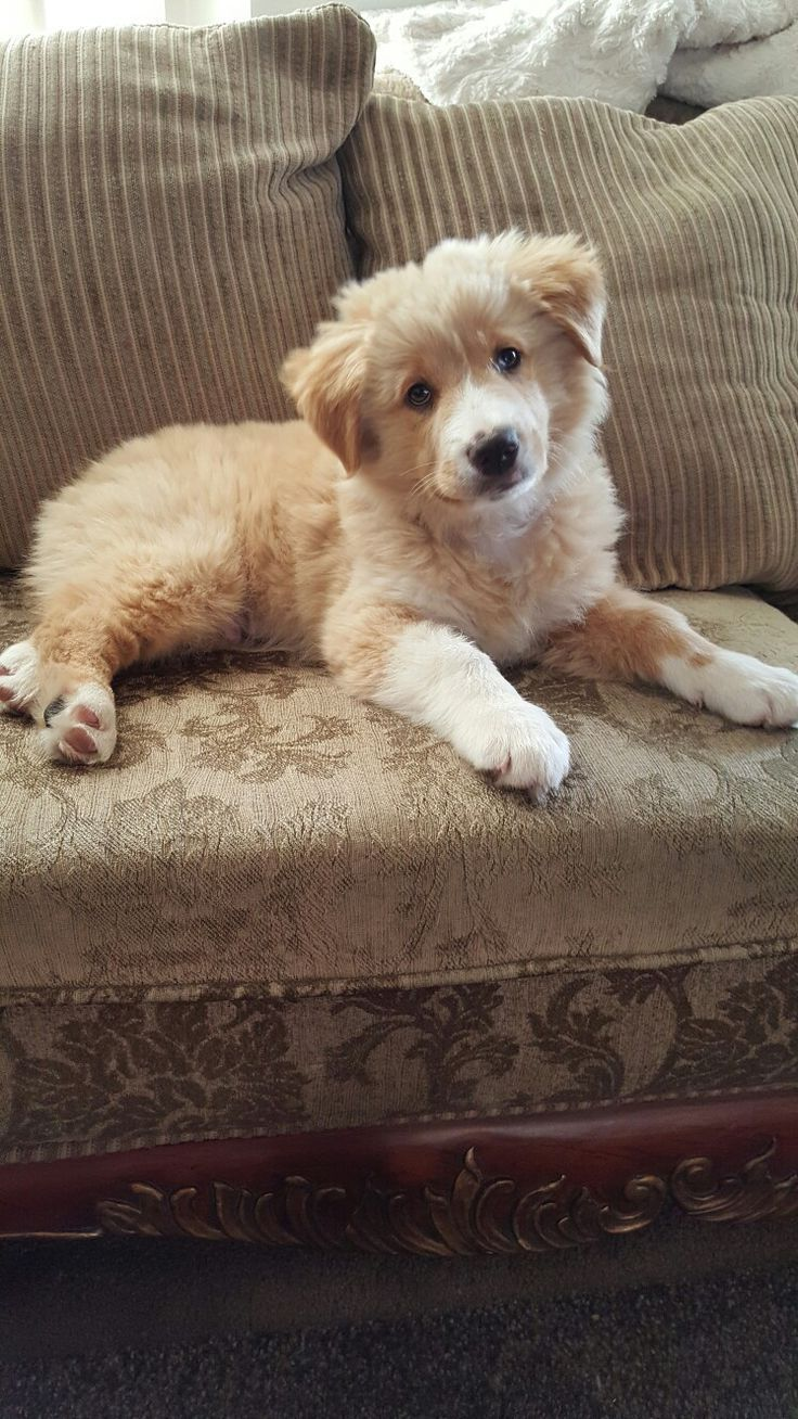 Simba Golden Retriever Australian Shepherd Mix Tap The Pin For