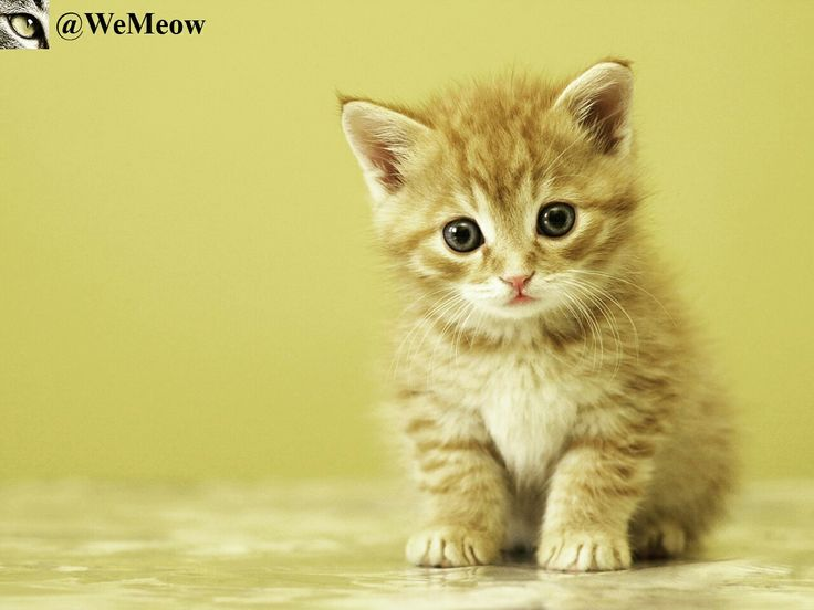 Meow https://www.youtube.com/c/WeMeow #cat #cats #wemeow #meow #catlife #cutecat #catlove #lovecats #gatos #gatti #koty #katze #chats #kitty #kitten #kittens #lovecat #funnycat #cateye #beautifulcat #nicecat #amazingcat #catlooking #catofinstagram #catsoftumblr #catstagram #instapets #instacat #pet #pets