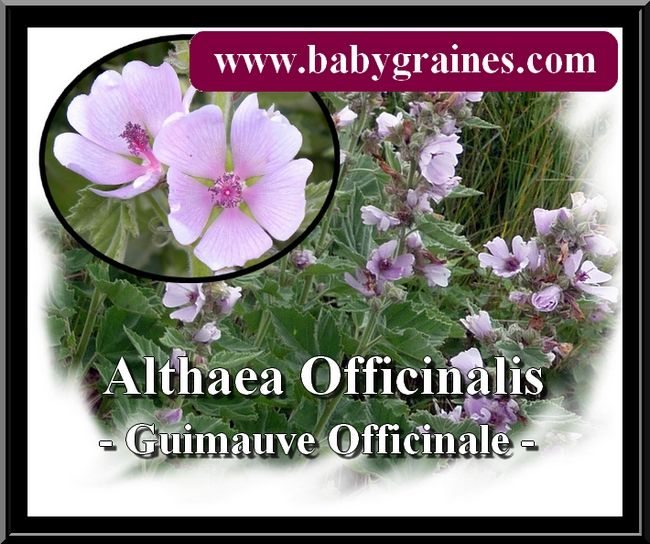 Graines Althaea Officinalis Guimauve Officinale Graine Avec