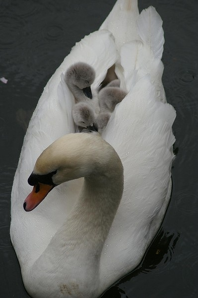 Spring means animal babies! Swan with cygnets