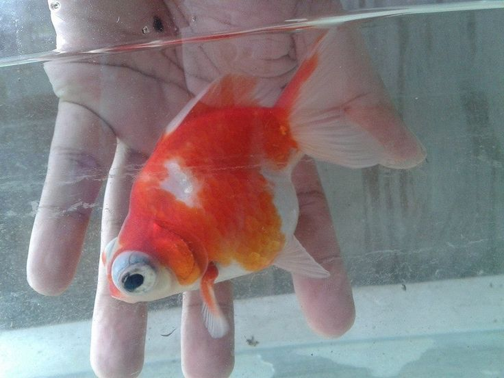 17 Best Images About Fancy Gold Fish On Pinterest
