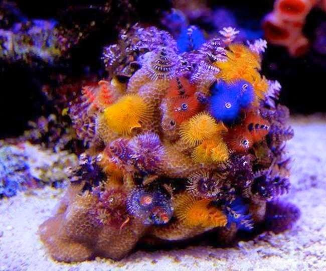 Image Result For Christmas Tree Worm Saltwater Aquarium Fish Saltwater Fish Tanks Coral Aquarium