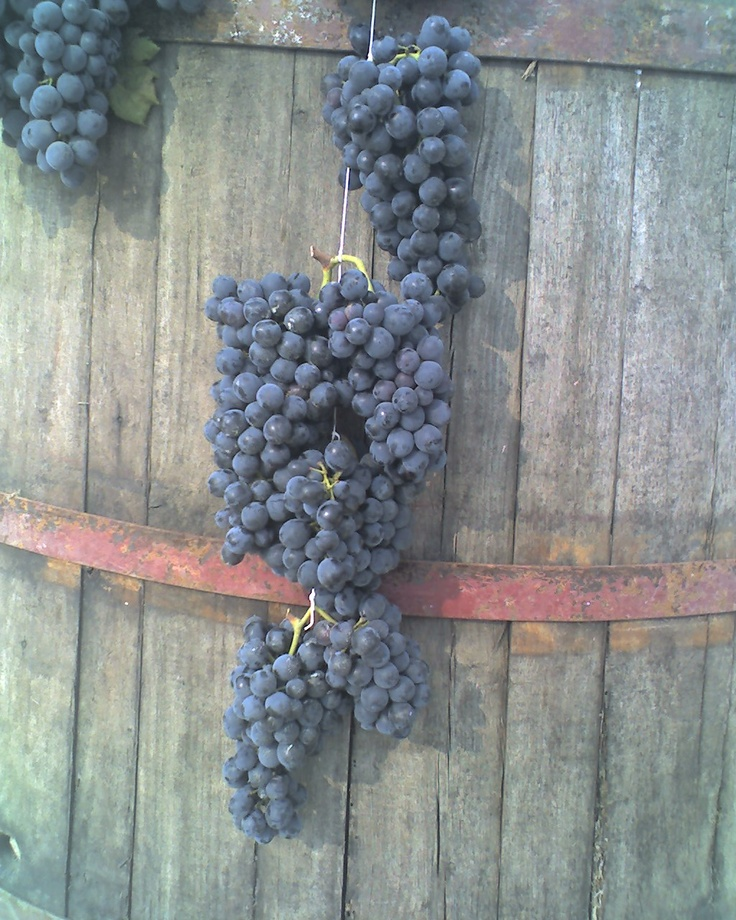 #Italy #Country Life&Style the Grapes hanging on the press before being squeezed, I love #Wine