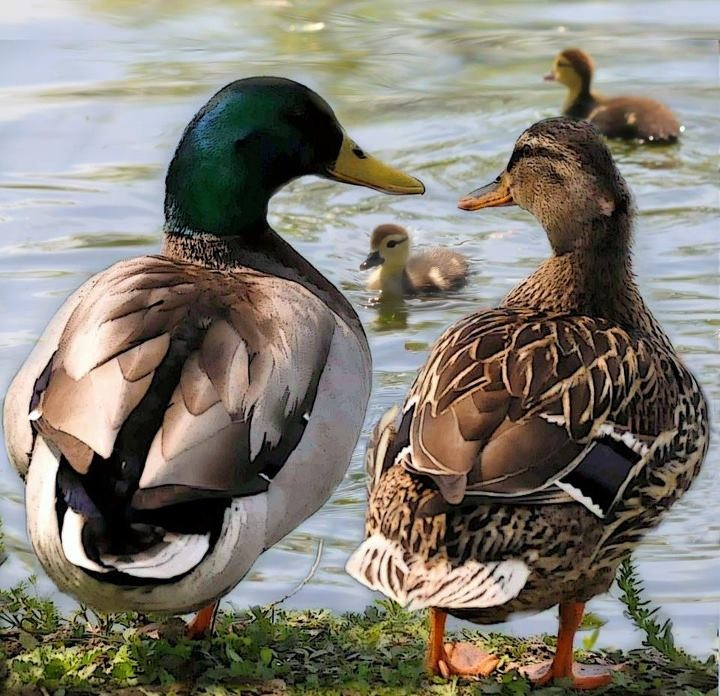 Watching & Feeding by hand our Mallard ducks ♥ In our yard every single day.....
