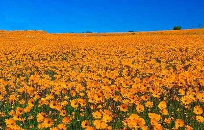 The fields of flowers along the West Coast is the best way to Spring's colourful emblems. sanparks.co.za