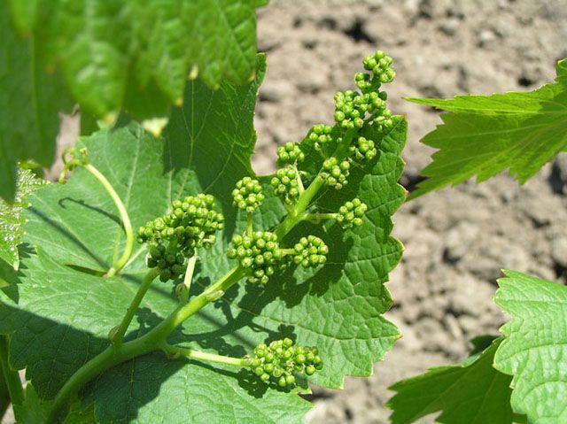 Середина мая – срочно подкормите виноград!