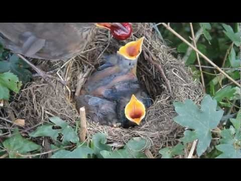 Cute Animal - Chicks 1080p HD