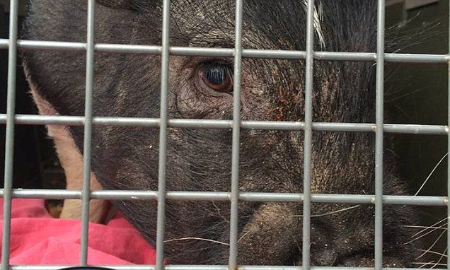 Piggy Smalls is captured after months of dodging police #DailyMail