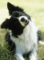 Border Collie Training Secrets thumbnail