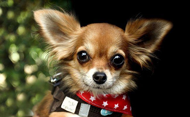 Le Chihuahua, un petit chien au fort caractère !
