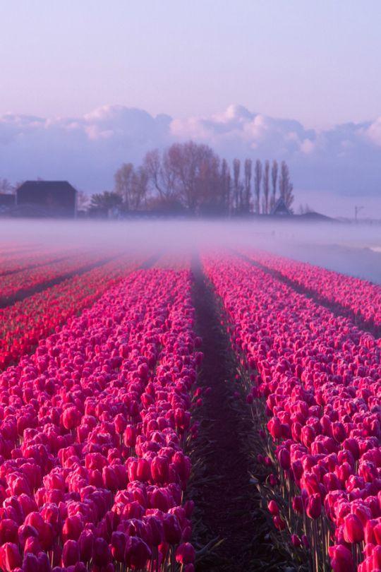 Netherlands - tulip fields in the mist