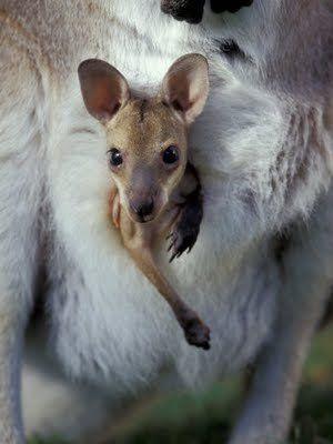 Joey Kangaroo ~Taking a peek at the world! #marsupials #kangaroo