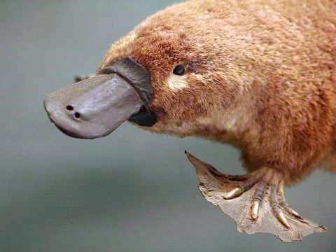 Duck-billed platypus.