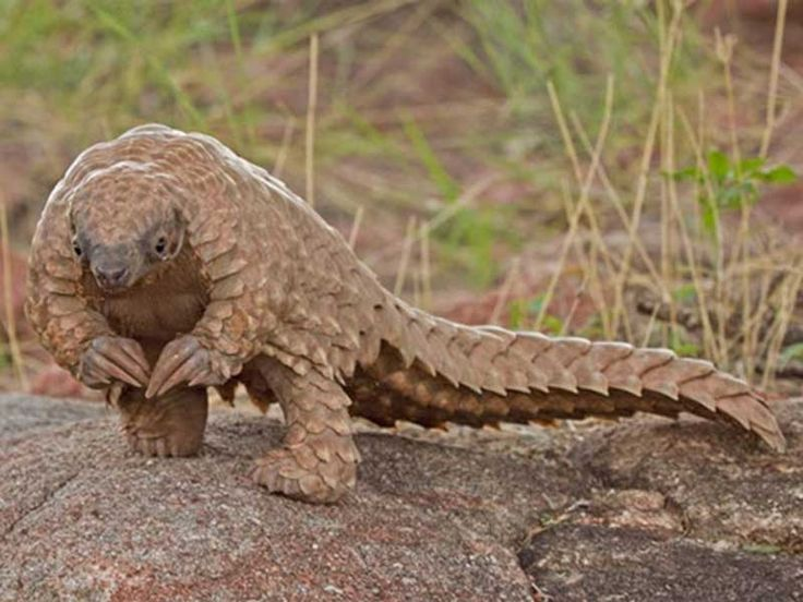 Pangolin Gallery, Images, Pics, Photos, Pictures, Photography
