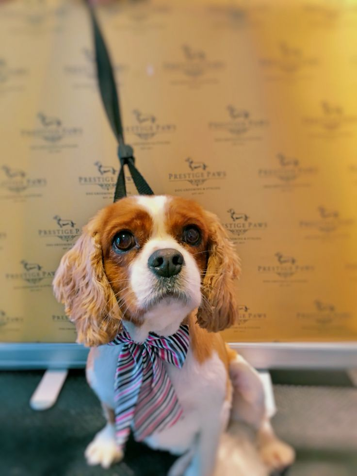 Bella is our Cavalier Pin-Up Girl