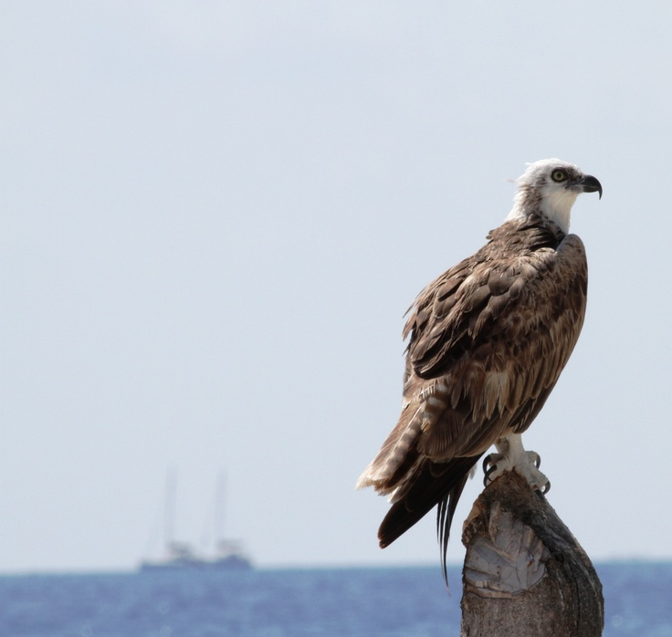 Photo of an osprey balancing atop a stump at Hatchet Caye. They are very large birds, growing more than 2 feet in height, and possessing a wingspan of almost 6 feet.#hatchetcaye #belize #naturelovers
