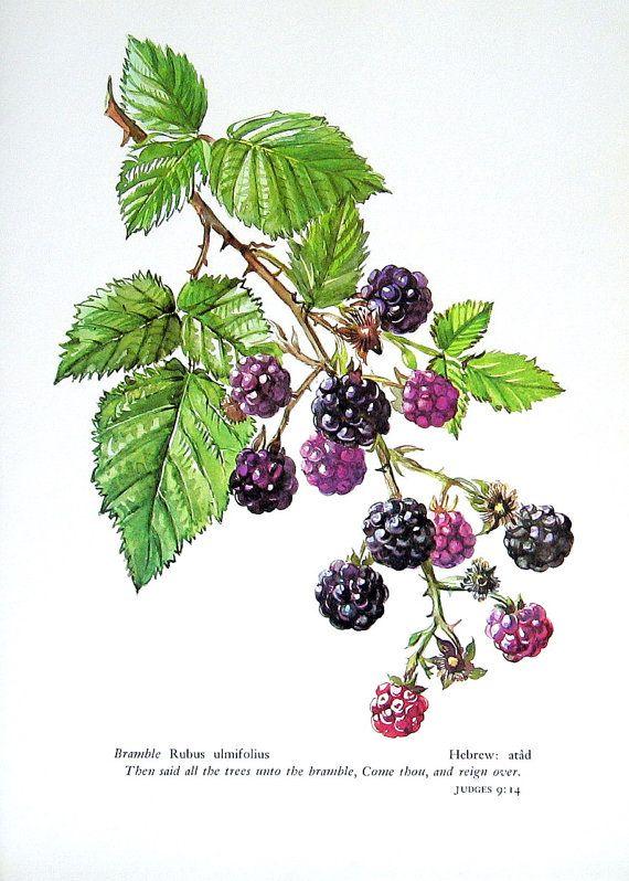 Blackberry Bush or Bramble: Vintage 1957 Botanical Print with Bible Verse