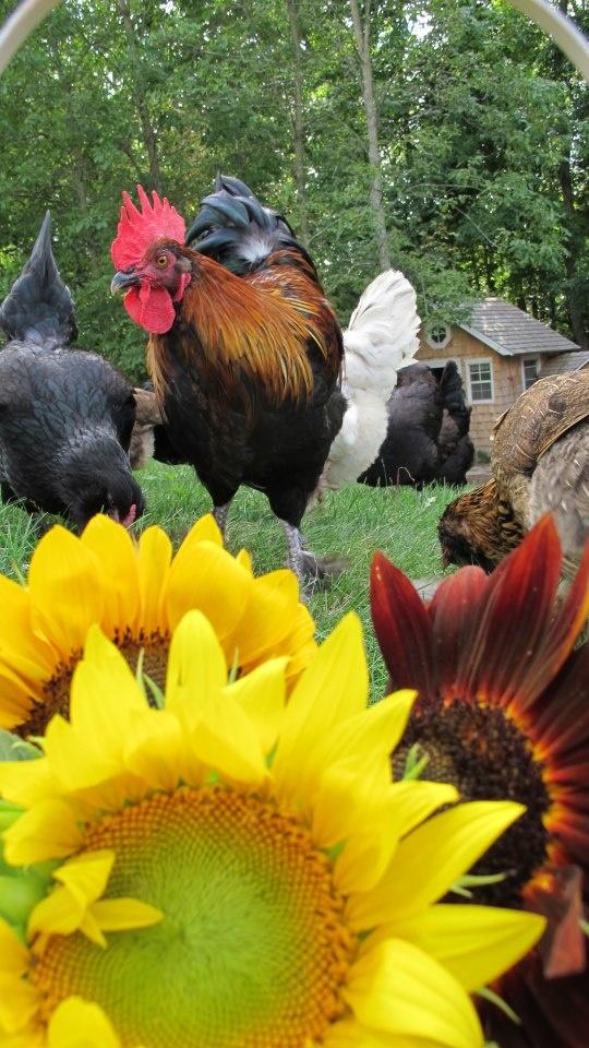 Black Copper Marans rooster (aka: Maxon)