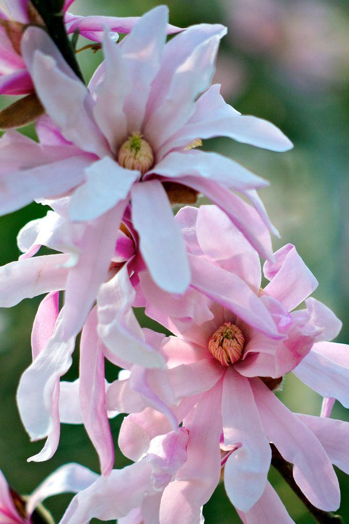 町田市 忠生公園 シデコブシ Magnolia