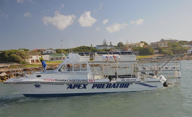 Great White Shark Tour Boat: Apex Predator