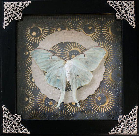Mounted Luna Moth Taxidermy Display