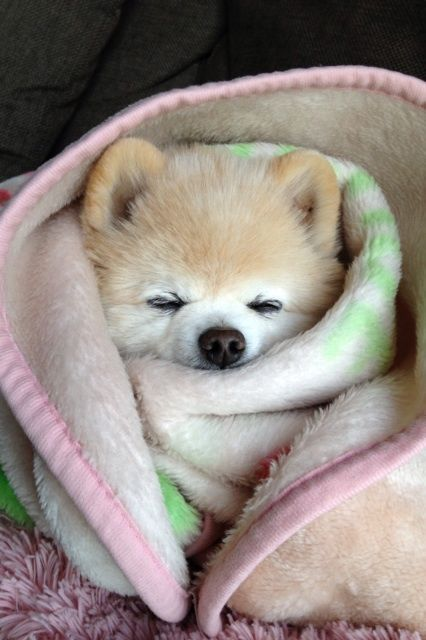 sleepy Pomeranian puppy