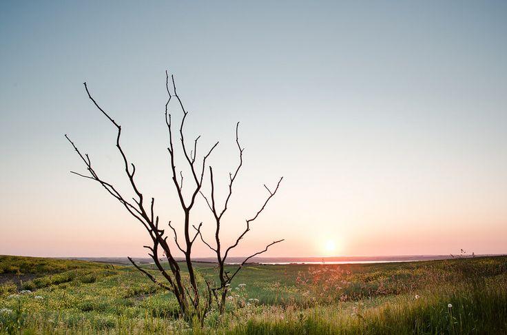 Old tree sunset