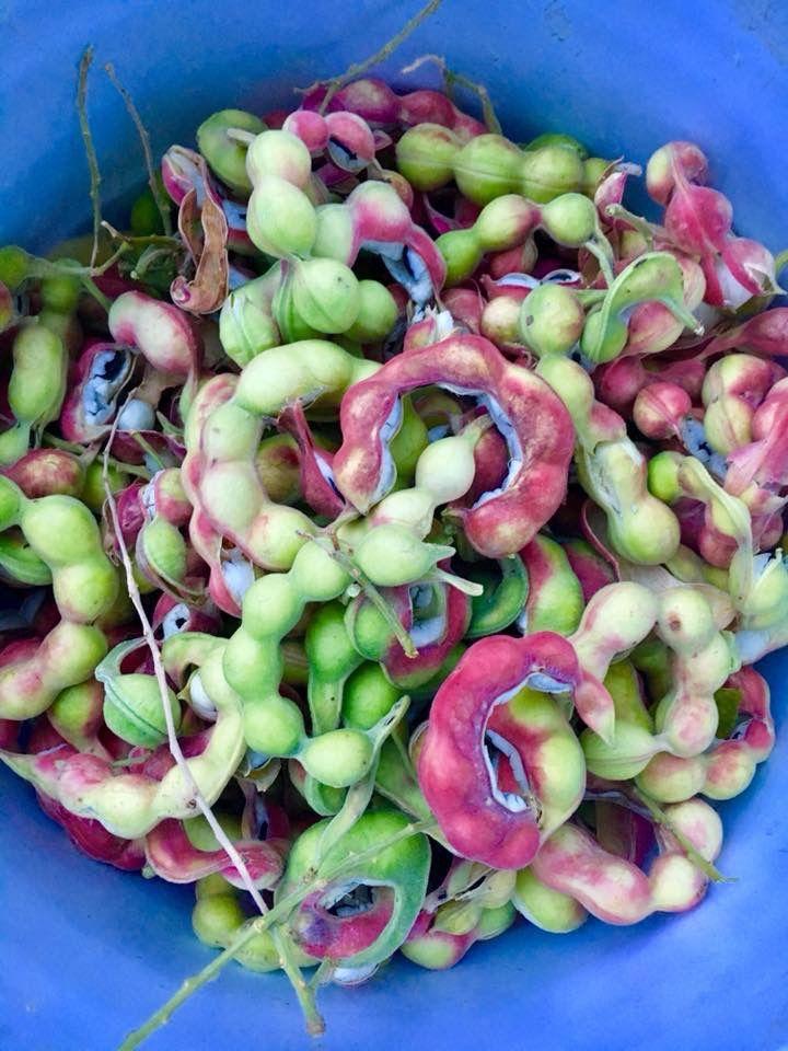 Guamuchiles | Frutas, Cocinas mexicanas  Guamuchiles
