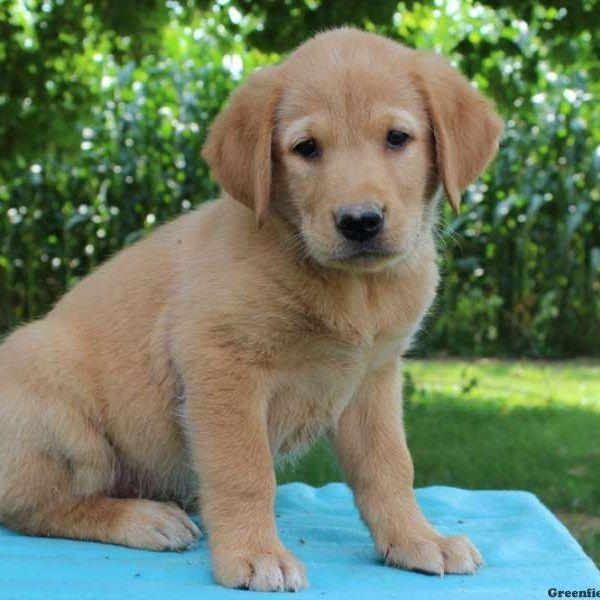 Golden Retriever Mix Puppies For Sale Greenfield Puppies Golden Retriever Mix Puppies Retriever Puppy Puppies For Sale