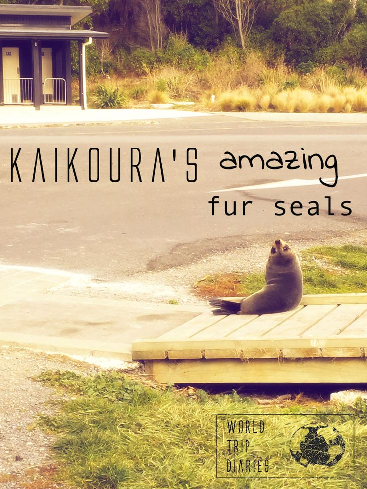A blog post on Kaikoura's fur seals, the best place to find them and how to be respectful around them - World Trip Diaries