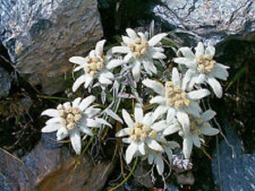 50+ White Edelweiss Ground Cover Flower Seeds / Perennial