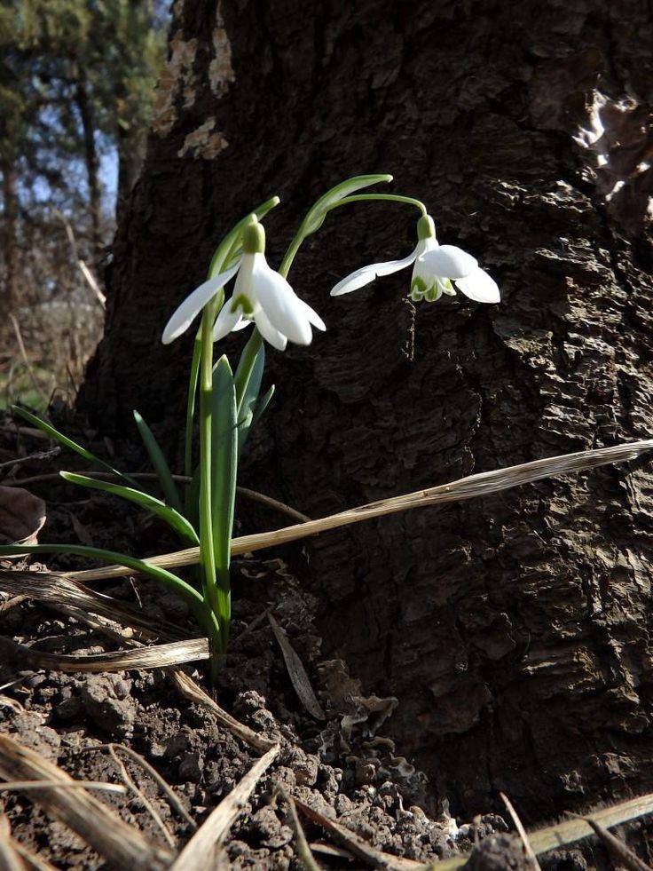 Jó reggelt! :-) Újabb hetet kezdhetünk ma. Kertünktől lassan búcsút vesznek hóvirágaink, a mai kép egy védett helyen megbújó kicsi virágról készült. :-) Legyen szép a heted, legyen szép a napod! :-) 2017.03.13.