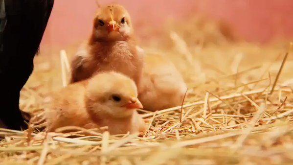 Las gallinas son excelentes madres amorosas y capaces de dar su vida por defender a susbebés  https://t.co/OrxvQswI2I