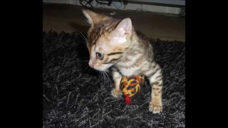 A fearless hunting Bengal kitten