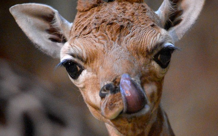 Zahra, a rare Rothschild's giraffe, makes her first appearance after she was born at Chester Zoo Picture: Steve Rawlins/Chester Zoo All creatures great and small in our ever popular animal gallery.