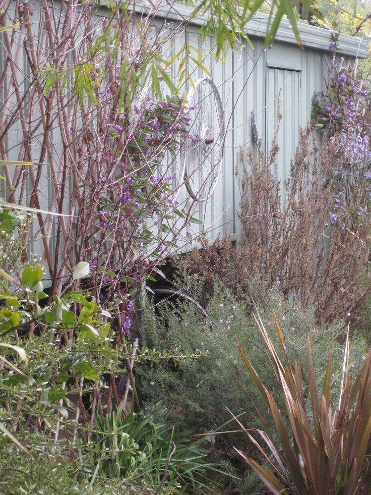 winter garden hadenbergia, flax and acacia et al