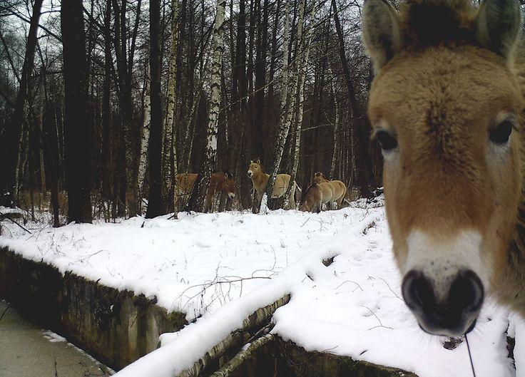 Wildlife thriving in Chernobyl's Exclusion Zone - Factorialist